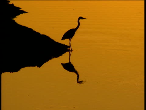 egret in silhouette as it steps into still water reflection below orange evening light - egret stock videos and b-roll footage