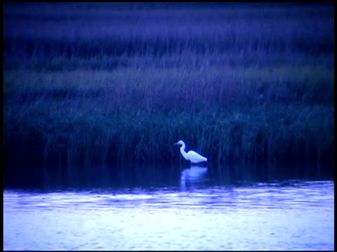 egret in wetlands, bald head island, north carolina - aquatic organism stock videos & royalty-free footage