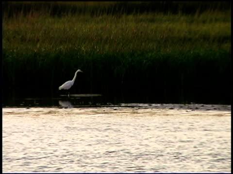 egret in wetlands, bald head island, north carolina - bald head island stock videos and b-roll footage