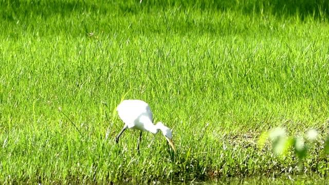 egret looking for food - heron stock videos & royalty-free footage