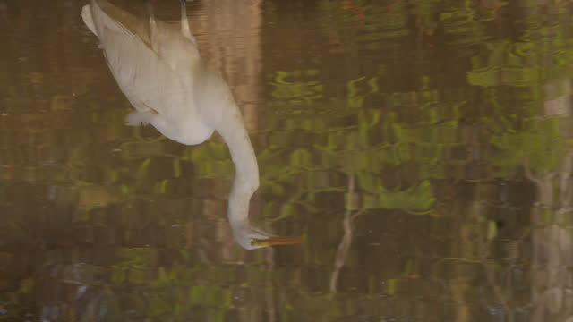 egret reflected in water / india - egret stock videos & royalty-free footage