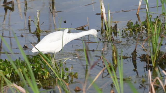 egret searching for food at a florida lake - great egret stock videos and b-roll footage