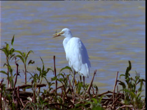 egret swallows fish it has caught at lake edge, south australia - egret stock videos and b-roll footage