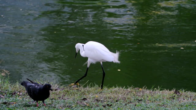 egret - heron stock videos & royalty-free footage