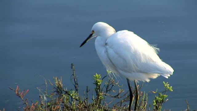 stockvideo's en b-roll-footage met egret - in het water levend organisme