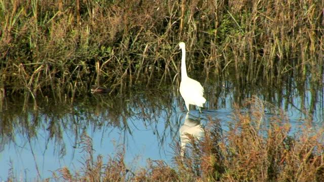 vídeos de stock, filmes e b-roll de egret - pântano salgado