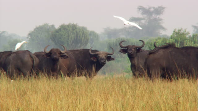 Egrets and Cape buffalo