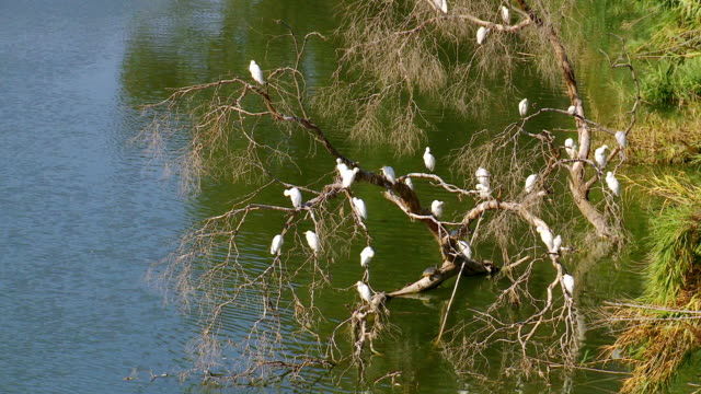 ms egrets and turtle  on tree branch / guadiaro, cadiz - reihergattung egretta stock-videos und b-roll-filmmaterial