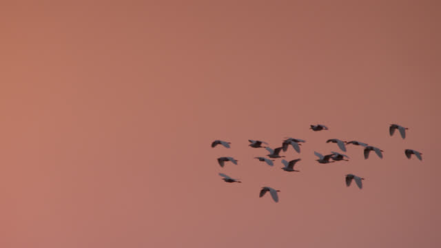 egrets (bubulcus) fly over setting sun, zambia - uccello video stock e b–roll
