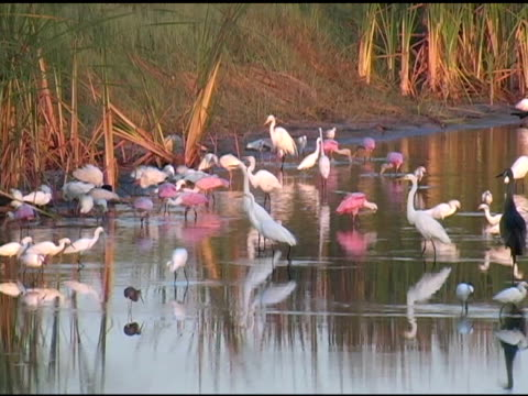 egrets, herons, cranes and spoonbills feeding in the sunrise - egret stock videos and b-roll footage