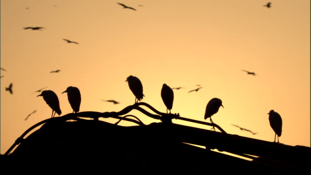 Egrets perched on digger at sunset Available in HD.