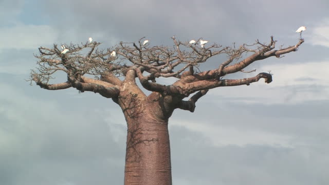 ms, egrets (egretta sp.) roosting in baobab (adansonia grandidieri) tree top, toliara province, madagascar - aquatic organism stock videos & royalty-free footage