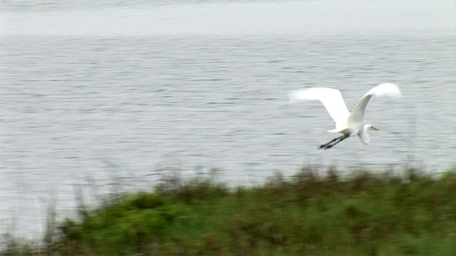 egrets - egret stock videos and b-roll footage