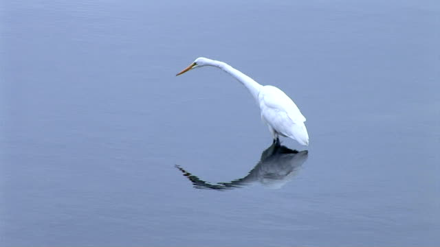 egrets - aquatic organism stock videos & royalty-free footage