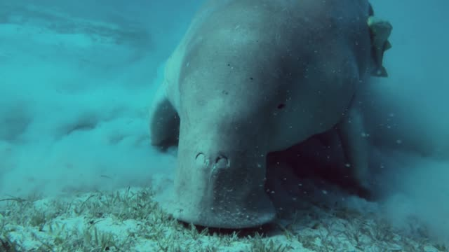 egyptian dugong dugon - dugong stock videos & royalty-free footage