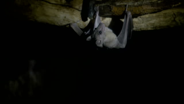 Egyptian fruit bat (Rousettus aegyptiacus)
