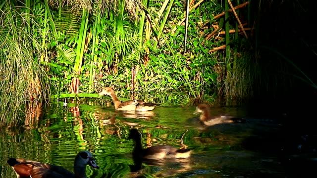 vídeos y material grabado en eventos de stock de gansos egipcio ducklings período de lactancia - cuatro animales
