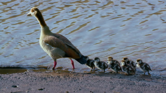 egyptian geese & goslings maasai mara, kenya, africa - gosling stock videos & royalty-free footage