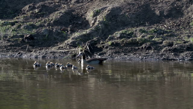 egyptian goose enters water with goslings and swims, kruger national park, south africa - mpumalanga province stock videos and b-roll footage