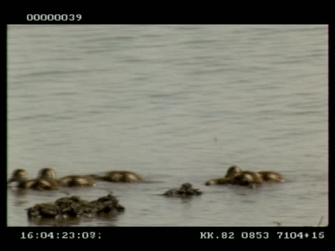 mcu egyptian goose (alopochen aegypticus) goslings swimming right to left through frame, botswana - gosling stock videos & royalty-free footage