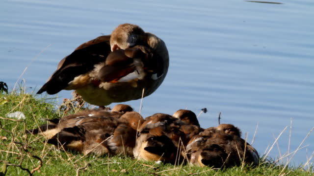 egyptian goose stands guard with four goslings hd video - gosling stock videos & royalty-free footage