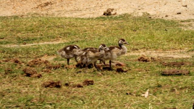 vídeos y material grabado en eventos de stock de egyptian goose (alopochen aegyptiacus) - audio disponible