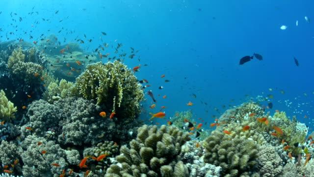 エジプトの紅海のリーフの水中シーン