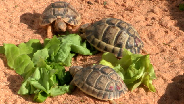 vídeos de stock e filmes b-roll de egyptian tortoise eating leaves - alface