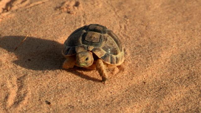vídeos y material grabado en eventos de stock de egyptian tortoise walking on sand - dermoquélidos