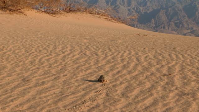 Egyptian Tortoise walking on sand