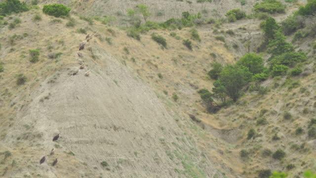 vidéos et rushes de vautour égyptien, vautour cinereous et vautour de griffon ensemble - vautour moine