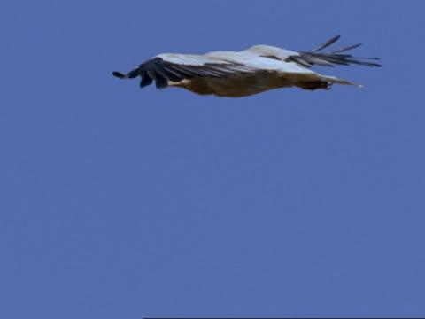 vídeos de stock, filmes e b-roll de egyptian vulture (neophron percnopterus) flying, oman - estilo de vida insalubre