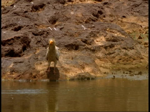 ms egyptian vulture, neophron percnopterus, near waterhole, bandhavgarh national park, india - bandhavgarh national park stock videos and b-roll footage