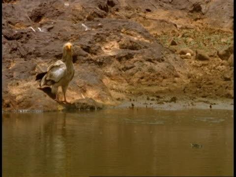 ms egyptian vulture, neophron percnopterus, near waterhole, bandhavgarh national park, india - national icon stock videos & royalty-free footage