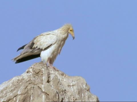 vídeos de stock, filmes e b-roll de egyptian vulture (neophron percnopterus) on rock flies from rock, oman - estilo de vida insalubre
