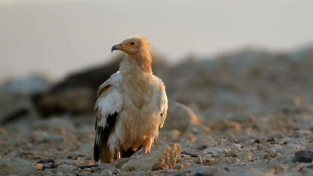 Egyptian vulture (Neophron percnopterus) standing in the desert