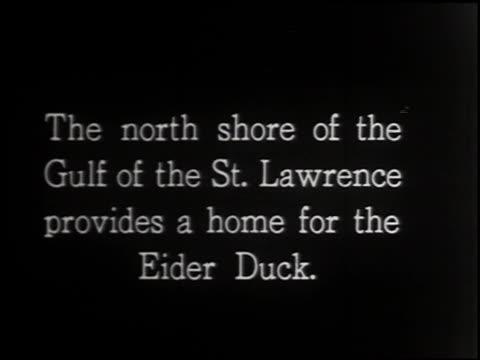 eider duck - 1 of 4 - ホンケワタガモ点の映像素材/bロール