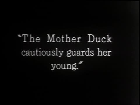 eider duck - 2 of 4 - eider duck stock videos & royalty-free footage