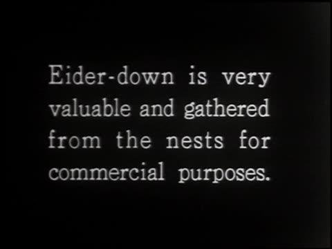eider duck - 3 of 4 - eider duck stock videos & royalty-free footage