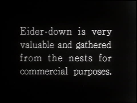 eider duck - 3 of 4 - ホンケワタガモ点の映像素材/bロール