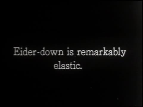 eider duck - 4 of 4 - ホンケワタガモ点の映像素材/bロール