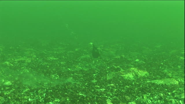 eider duck forages for mussels in a polynya ice lake in arctic canada. available in hd. - ホンケワタガモ点の映像素材/bロール