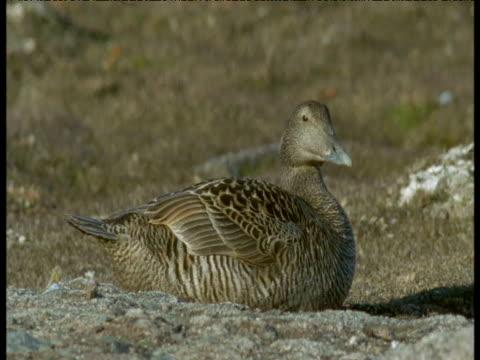 Eider duck on nest, Svalbard