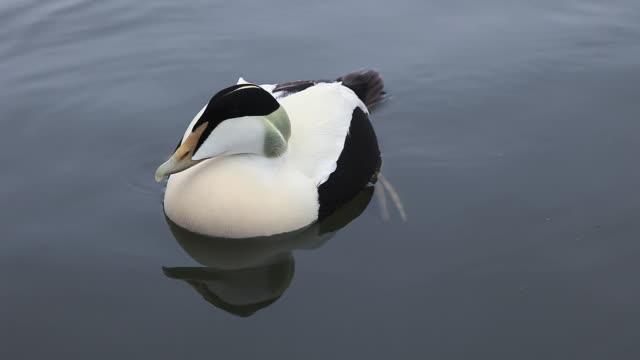cu eider duck, somateria mollissima on water / reykjavi?k, iceland - ホンケワタガモ点の映像素材/bロール