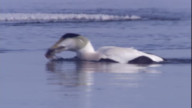 eider duck swallows prey in a polynya in the canadian arctic. available in hd. - ホンケワタガモ点の映像素材/bロール