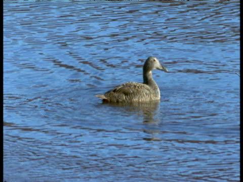 eider duck swims on water, svalbard - ホンケワタガモ点の映像素材/bロール