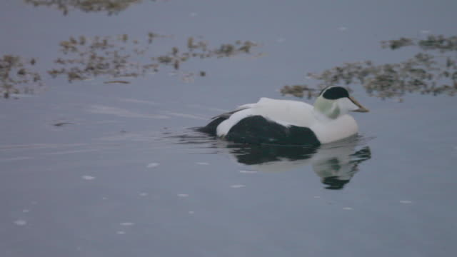 eider duck - ホンケワタガモ点の映像素材/bロール