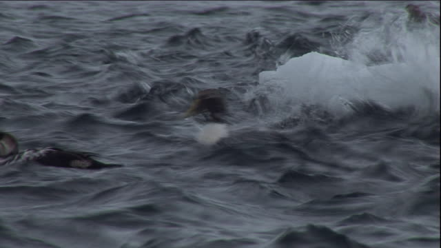 eider ducks dive in a choppy polynya ice lake in arctic canada. available in hd. - eider duck stock videos & royalty-free footage