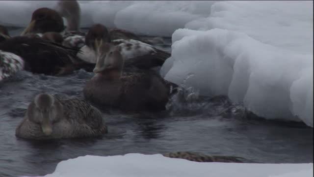 eider ducks dive in a polynya. available in hd. - ホンケワタガモ点の映像素材/bロール