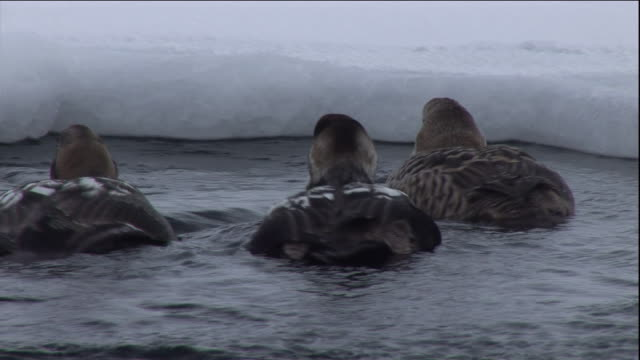 eider ducks dive in a polynya ice lake in arctic canada. available in hd. - eider duck stock videos & royalty-free footage